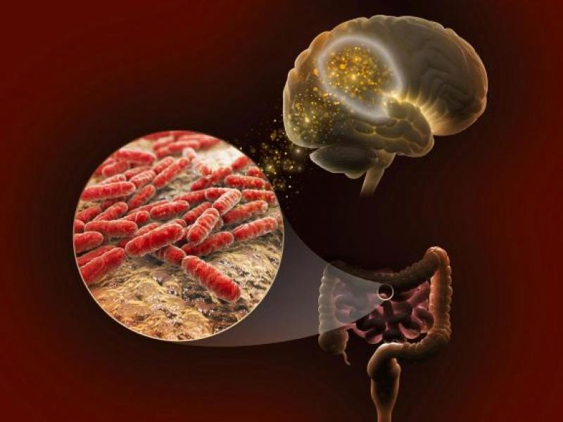 Illustration of links between gut microbes and the brain